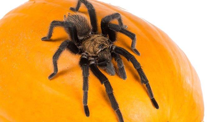Thousands of tarantulas set to crawl through Colorado searching for mates