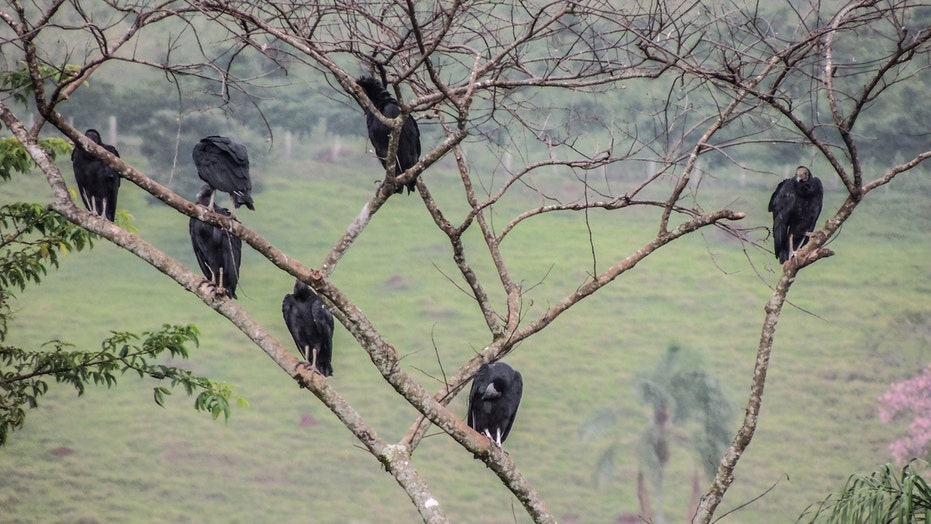 Black vultures terrorizing Pennsylvania town