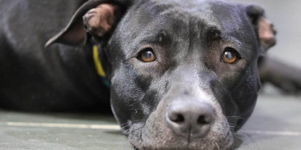 Pit bull 'faints' while getting nails clipped, instantly goes viral: 'Academy Award for best dramatic performance'