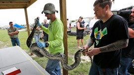 Florida doubles python hunters as over 1,000 apply for hourly wage job with bounty incentives
