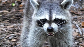 Raccoon in New Jersey attacks 2 people, chases kids, charges at cops, reports say