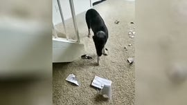 Dog caught destroying book about, oops, canine training