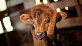Louisiana couple rescues rare calf born with fifth leg on head: 'She's a little spitfire'
