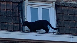 Domesticated black panther spotted prowling along window ledges in French town