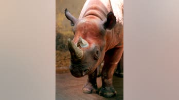 Trump admin to allow trophy hunter to import rare black rhino parts to US