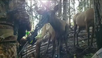 Elk calf seen chewing on hunter鈥檚 bow in amazing up-close video