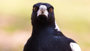 Swooping magpie shot by Aussie council after dozens of attacks
