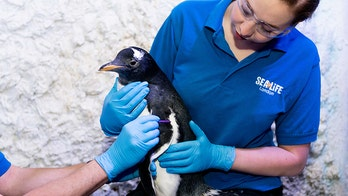 'Genderless' penguin to be raised by same-sex couple at London aquarium