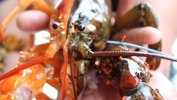 Rare two-toned 'Halloween lobster' found off coast of Maine, a '1-in-50-million' find