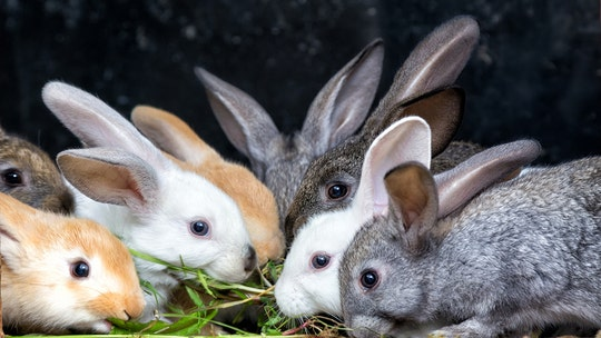 Vegan activist rescues 16 rabbits, leading to death of nearly 100 baby bunnies in Spain, report says