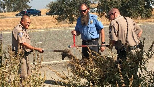 California Highway Patrol officers capture fugitive emu on freeway