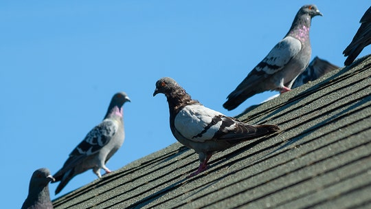 Illinois lawmaker pooped on by pigeon while discussing problem of pigeons pooping at train station