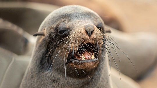 Angry seal 'helps' Australian police bust drug smuggling ring
