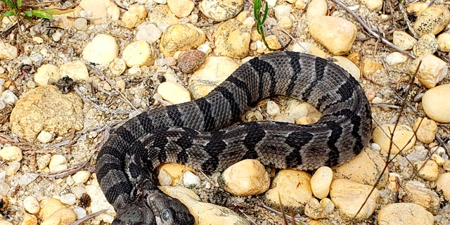 A newborn two-headed timber rattlesnake was found in New Jersey's Pine Barren.