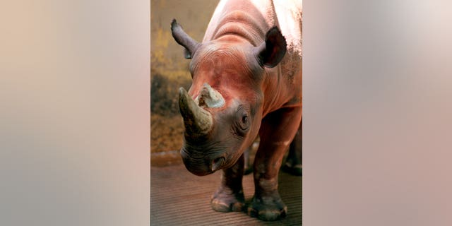 Spike, a rare black rhino -- not the one shot in Africa -- is shown at the Cleveland Metroparks Zoo in Cleveland, Ohio in 1997.