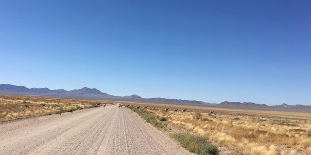 "A herd of antelope can be seen crossing the roadway to the ""back gate"" of  Area 51."