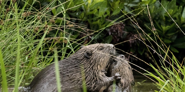 The beavers were spotted in August. (SWNS)