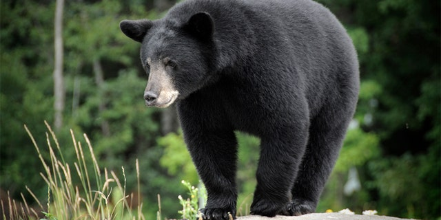 Westlake Legal Group Black-Bear-1 Minnesota woman, 62, killed by black bear in Canada Louis Casiano fox-news/world/world-regions/canada fox-news/world/world-regions/americas fox-news/us/us-regions/midwest/minnesota fox-news/science/wild-nature/mammals fox news fnc/world fnc article 349281a7-5b9a-50c0-a350-d7a5fddd4eb2