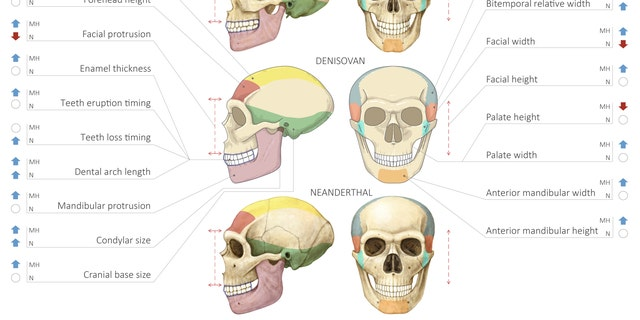 Comparison of modern human, Denisovan and Neanderthal skulls. (Maayan Harel)