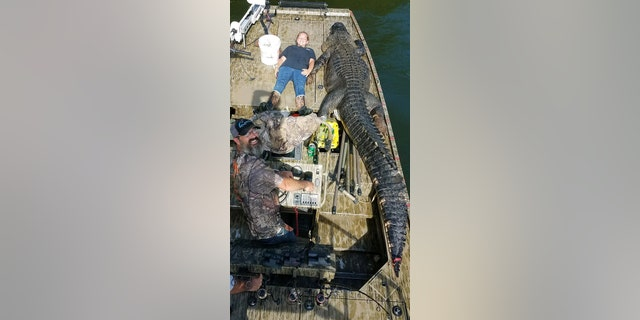 Shelby Snelson measures herself with the monstrous alligator she and her father caught on Sept. 1, pictured.聽