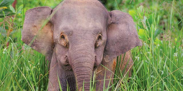 The Borneo pygmy elephant is an endangered species, with an estimated 1,500 remaining.