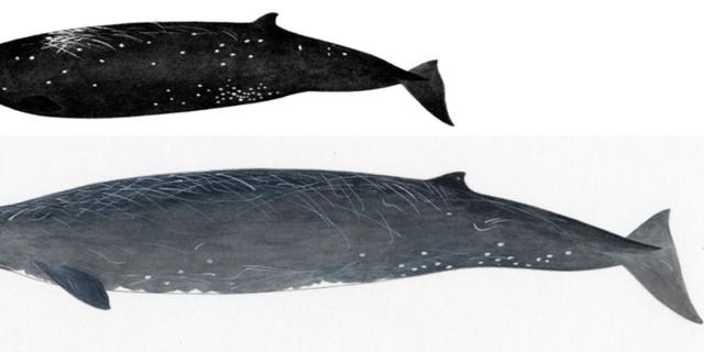 This illustration compares the new species<em>Berardius minimus</em> (A) and the Baird's beaked whale (<em>Berardius bairdii</em>i) (B).