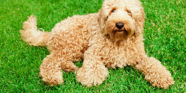 Labradoodle Creator Says He Unleashed