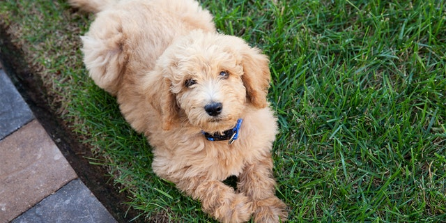 Adorable labradoodle puppy laying in the grass