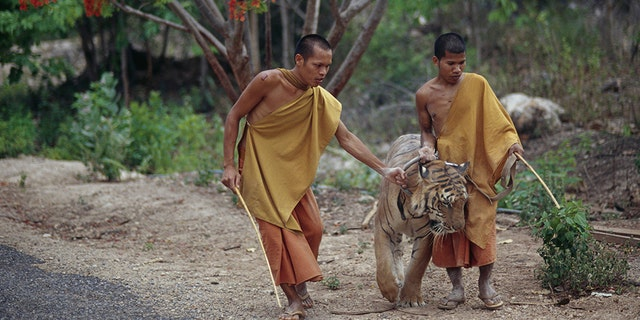 Buddhist monks with a tiger at the tourist attraction.