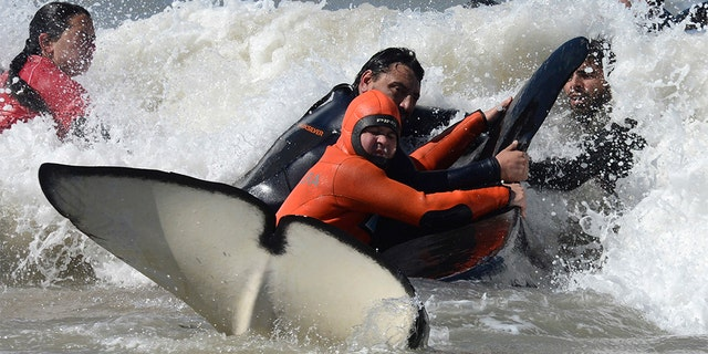 Rescuers and volunteers working to return a killer whale to sea near Mar Chiquita, Argentina.