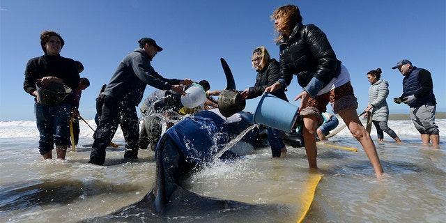 Officials said it was unclear why the orcas had beached themselves.