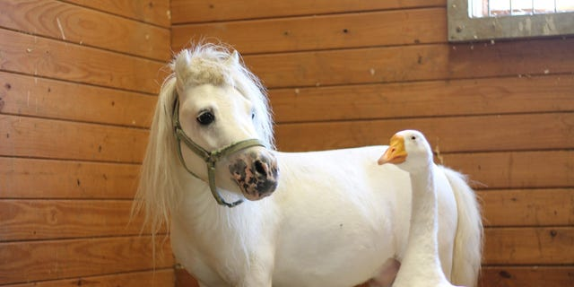 "In July, Waffles the mini horse and Hemingway the goose were rescued from a Pennsylvania farm where they lived in ""extremely unsanitary"" conditions."