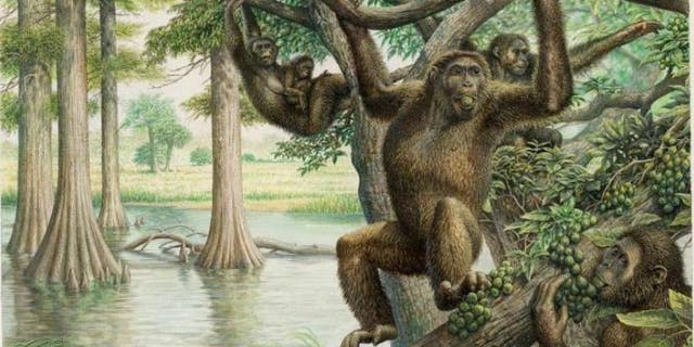 Rudapithecus was pretty apelike and probably moved among branches like apes do now -- holding its body upright and climbing with its arms.