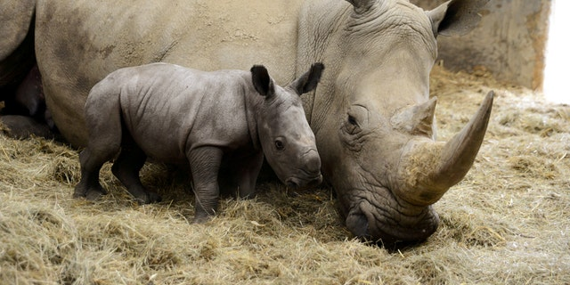 New baby Rhino, Stella, who was born at Cotswold Wildlife Park, pictured with mom Ruby. She is the first female calf born to her parents and is healthy and nursing well. (Credit: SWNS)