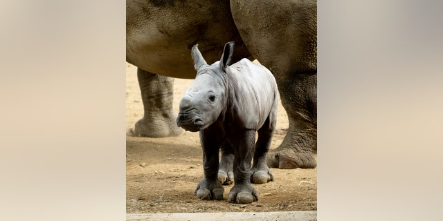 Ruby joined the wildlife park in 2009, alongside another female Rhino called Nancy, in the hopes that they would produce the parks first ever Rhino calf with Monty. (Credit: SWNS)