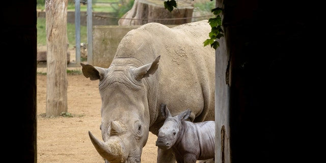 In 2013, Nancy gave birth to a female named Astrid with Stella being the third female calf born at the park in its 49-year history. (Credit: SWNS)