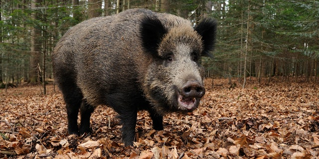 A run-in with a wild boar has been blamed for an ankle injury to New York Mets star Yoenis Cespedes that has cost the player millions of dollars.