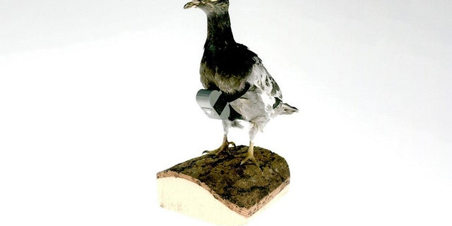CIA photo of a spy camera strapped to a model pigeon.