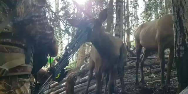 In the amazing footage, Bassett is seen standing remarkably still as an elk calf approaches him and begins nuzzling and licking his bow.