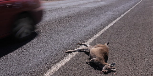 As many as 20 kangaroos were mowed down in Australia on Saturday, officials said.