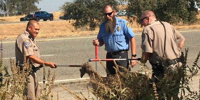 Westlake Legal Group emu-1-AP California Highway Patrol officers capture fugitive emu on freeway Morgan Phillips fox-news/us/us-regions/west/california fox-news/us/crime/police-and-law-enforcement fox-news/science/wild-nature fox news fnc/us fnc b62a51fc-e213-5531-83bd-c7b44807af02 article