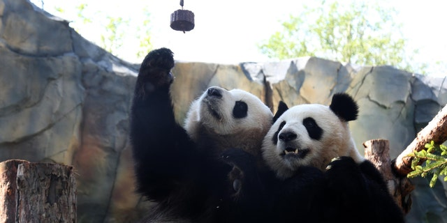 Giant pandas 'Qi Guo' and 'Yuan Man' play at a single panda house in the Qinghai-Tibet Plateau Wild Zoo on August 28, 2019 in Xining, Qinghai Province of China. (Photo by Luo Yunpeng/China News Service/VCG via Getty Images)