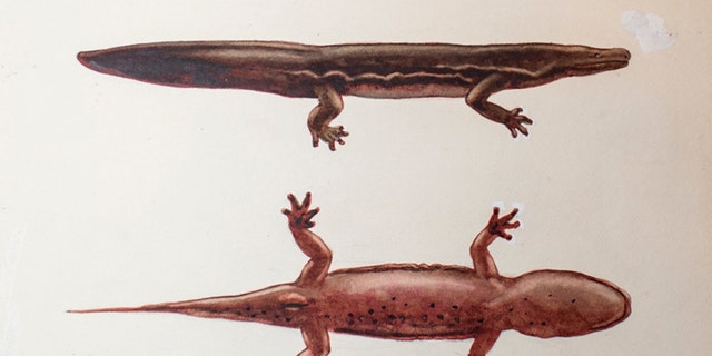 New giant salamander species - Andrias sligoi - painting from ZSL archives. (Credit: ZSL)