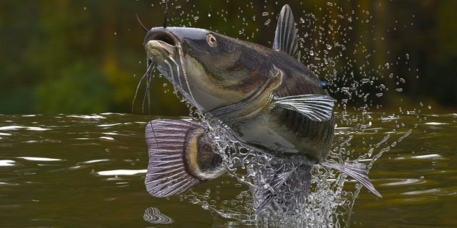 """A stock image of a large catfish jumping out of a lake.One four-year-old girl from Illinois is a bona fide angler after catching a 33-pound flathead catfish while fishing with a miniature, """"Frozen""""-themed fishing pole."""