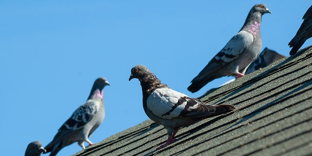 Pigeon poop has been creating a messy commute for Chicago Transportation Authority riders.