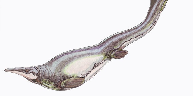 Plotosaurus bennisoni is a mosasaur from the Upper Cretaceous (Maastrichtian) North America. (Credit: Restoration illustration from Wikimedia Commons, CC BY 3.0.)