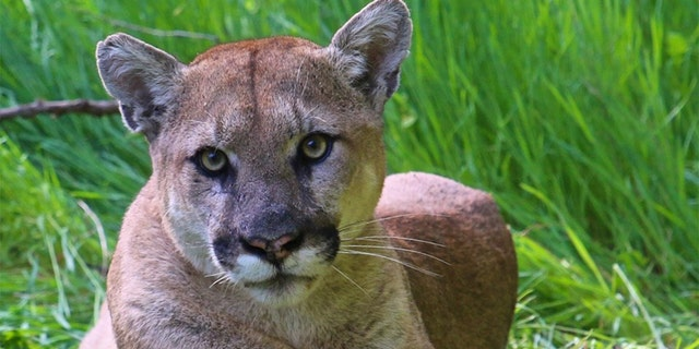 A California man faces criminal charges for allegedly shooting and killing a protected mountain lion, prosecutors said.