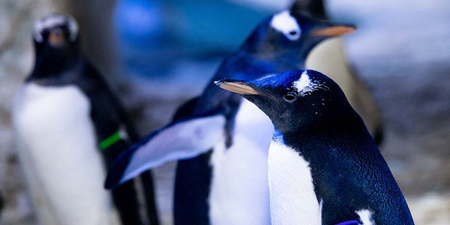 The penguin, pictured here with its purple armband, has not yet been named, according to the aquarium.