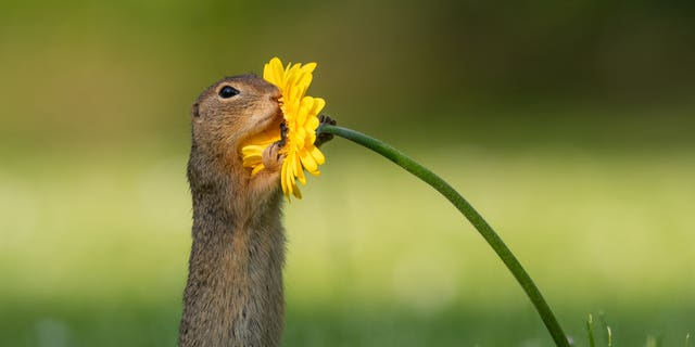 The squirrel was looking for the tastiest flower. (SWNS)