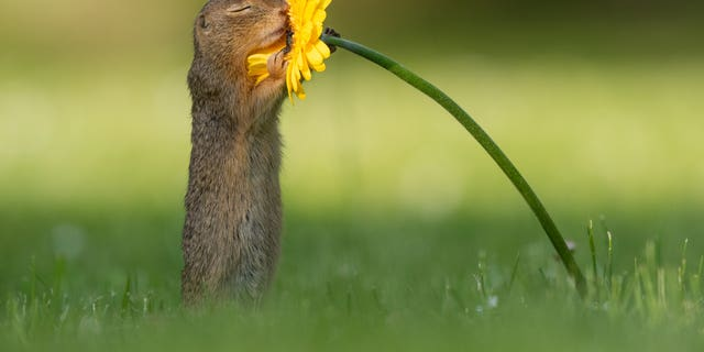 A ground squirrel smells a daisy in Vienna, Austria.